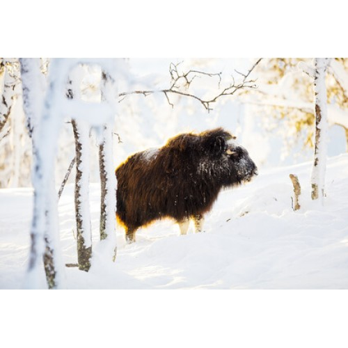 Muskox (Temporarily unavailable)