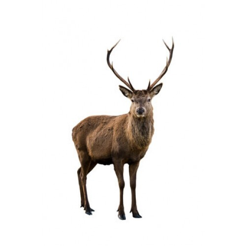 Red Deer / Venison