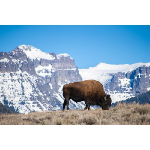 Alberta-Raised Bison